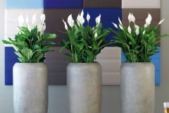 Spaths in tall pots