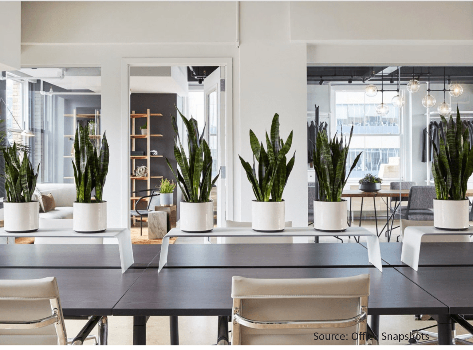 Sanke-plants-in-white-pots-in-office