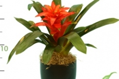 Bromeliad short orange