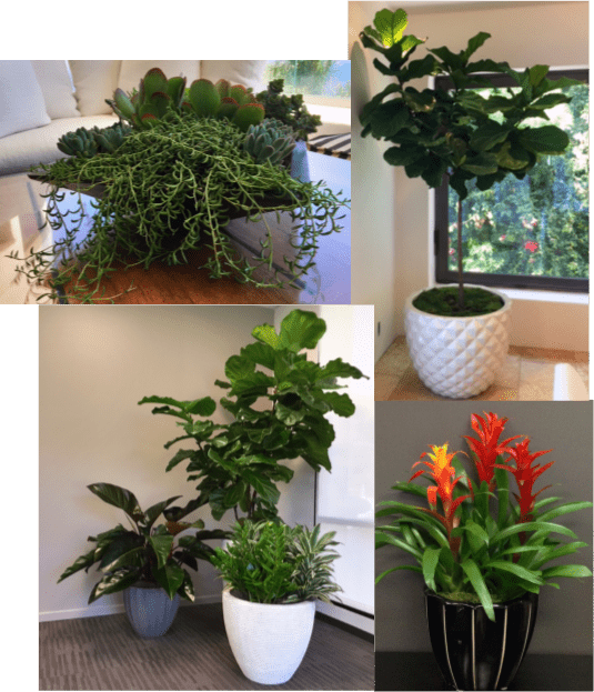 Plant Selection Guide, Interior Plants, House Plants, Office Plants, Interior plant rental, plant maintance, interior landscapes,