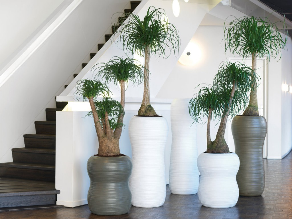 Modern large plants in tall pots Ponytail palm, Boccardia