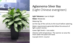 Best plant for an office. Aglaonema Silver Bay
