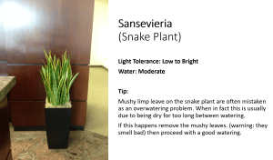 Easy care office plant under artificial light. Sansevieria snake plant.
