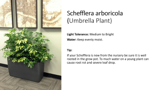 You don't see many Arboricola plants in an office but they are easy to care for.