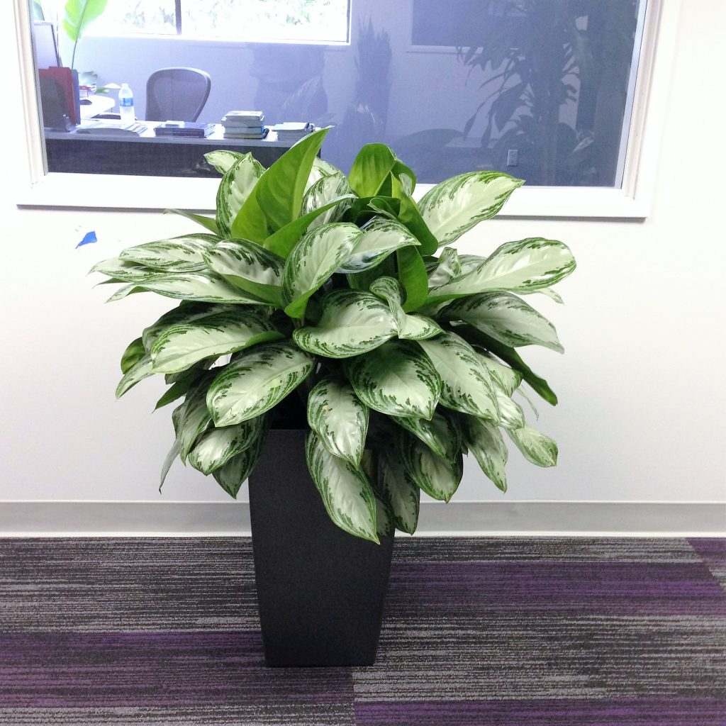 commercial interior plant service, Plant rental vs. buying plants, large house plant in an office