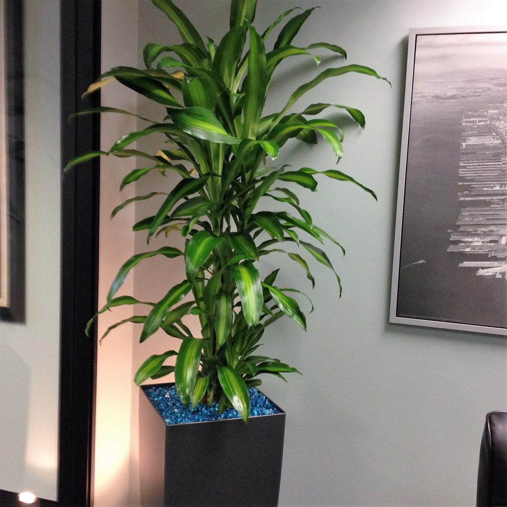 large office plant, tall planter, low light plant