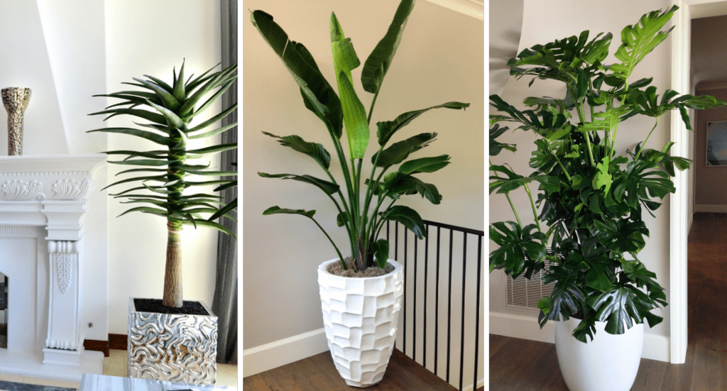 New Contemporary interior specimen plants and planters