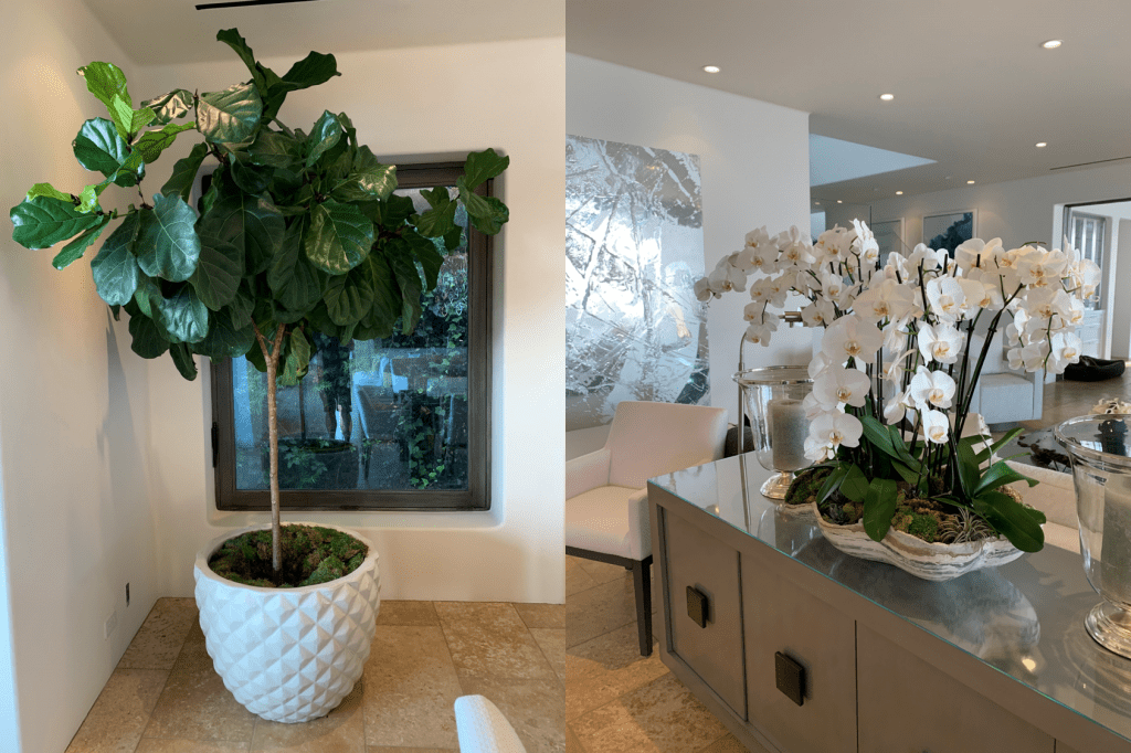 fiddle leaf fig tree delivered, large houseplants delivered, big indoor plant,  orchid arrangements, orchid rental, orchid service, deliver houseplants, houseplants near me, interior plant service and maintenance, Westlake Village, Thousand Oaks, Calabasas,