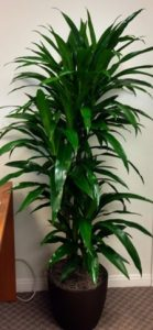 4' Dracaena Lisa, $84.97 low light plant, easy plants, office plants, hard to kill plants